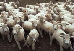 انفلونزا الماعز في مصر