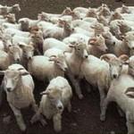 حقيقة مرض انفلونزا الماعز