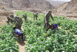 القوات المسلحة تشن الحرب على الزراعات المخدرة في سيناء