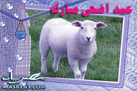 صور خروف العيد الاضحى 2015 - 2016